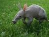 baby-aardvark-scampering