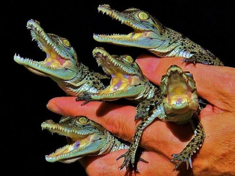 Cute Baby Alligator