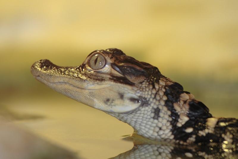 Baby Alligators