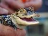 baby-alligator