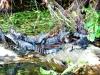 baby-alligators-compressed-size
