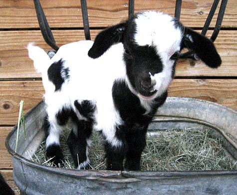 Baby Goats Critter Babies