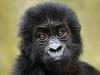 a-baby-grauers-gorilla-005