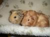 baby-guinea-pigs-5197b9906c914
