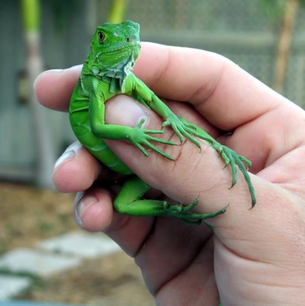 Baby Iguana - photo#8
