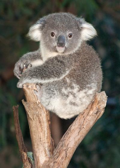 Baby koala bears - Pics of baby koalas ...