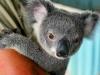 baby-koala-01