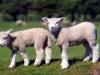 baby-lamb-1