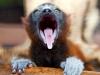 baby-lemur-2-590ds051710-1274122132