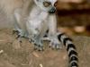 baby_lemur_by_jaffa_tamarin-d3brlbe