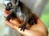 l-baby-lemur