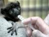 lemur-big