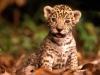 baby-leopard-big