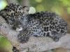 baby-leopard-the-animal-kingdom-213003_540_360