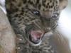 baby-leopard-the-animal-kingdom-213004_540_810