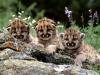 animal-lion-cubs-click-view_471371
