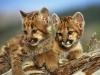 mountain-lion-cubs2