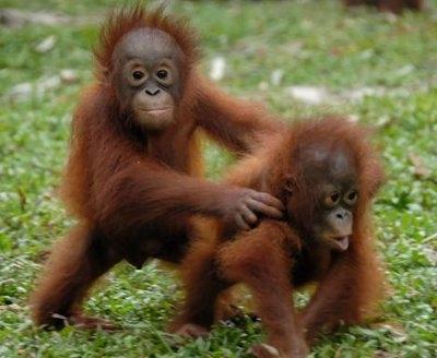 Bornean orangutans baby - photo#4