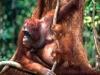 babies-of-beautiful-dangerous-animalstraining-borneo-orangutans-animal-attacks-news