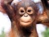 orang_utan_babies-of-beautiful-dangerous-animals-beautiful-african-rainforest-animalspictures