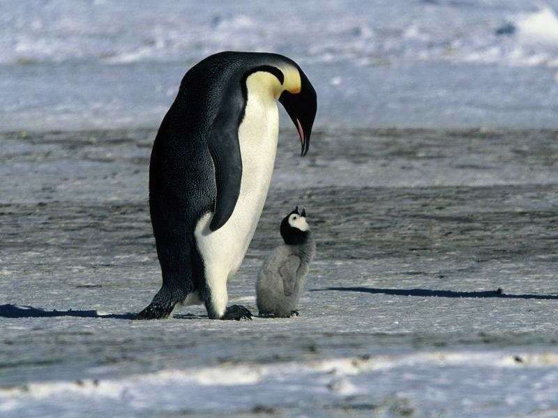 Top Penguins TZ51