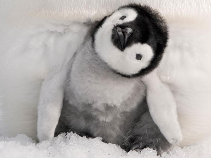 baby-penguins-15155-open-walls-gerber-ba