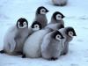 baby-penguins-animals-31184689-350-280