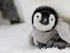 cute-baby-penguins-10735-hd-wallpapers