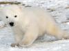 baby-polar-bear-toronto-zoo