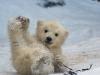 baby_polar_bear-6632