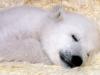 polar-bear-baby_100175-1440x900