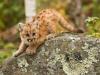 baby-puma-panther-cougar
