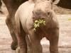 baby-rhino-rhinos-20108363-470-579