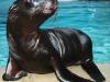 baby-sea-lion