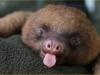 baby-sloth-with-a-big-yawn