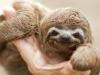 cute-baby-sloth