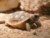 baby-gopher-tortoise
