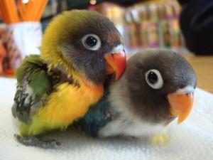 a.baa-Baby-parrots-cute