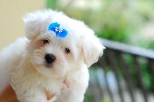 maltese-puppies