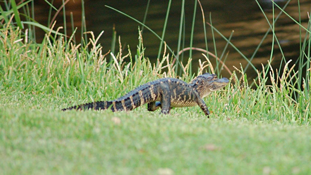 Baby alligator Kiawah Island Resort, South Carolina