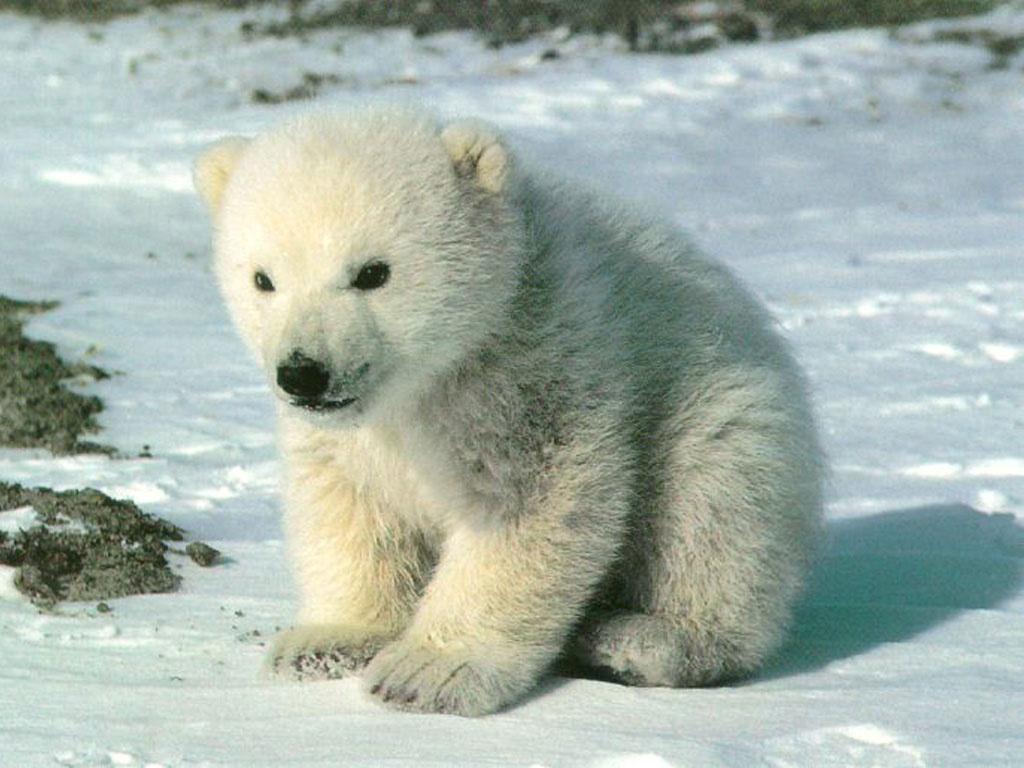 bany polar bear