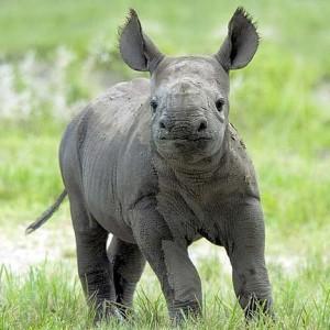 Baby-Rhino-rhinos-20108331-468-468