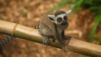 baby-lemur
