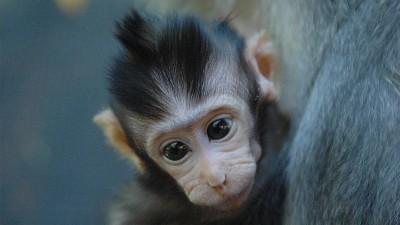 baby-monkey-bali-indonesia