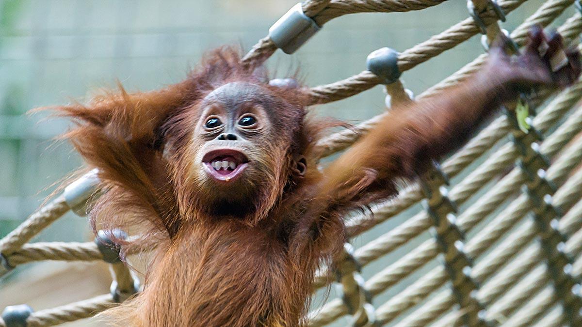 baby-orangutan-playing-zurich-zoo.jpg