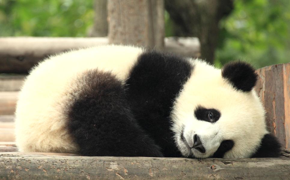 Cute Baby Panda Pics: Critter Babies