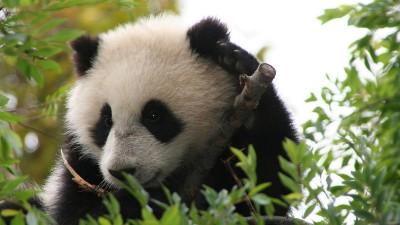 baby-panda-su-lin-san-diego