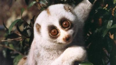 6 week old infant sloth