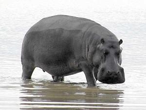 hippo-mgr-g