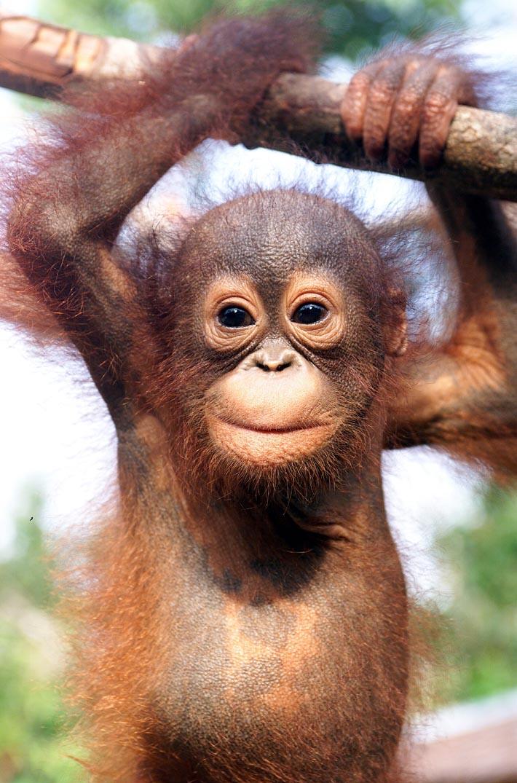 Orangutan Hands And Feet Orangutan babies have wrinkled